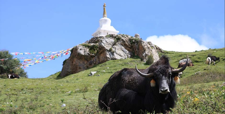 Yak near Ganden monastery, how much does it cost to travel in Tibet